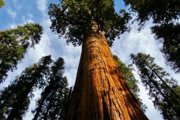 Ekosistem Terbaik Pohon Sequoia